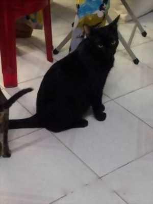 Bán mèo mun đen huyền 6 tháng