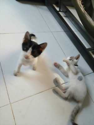 Cần bán mèo Mun hai tháng tuổi