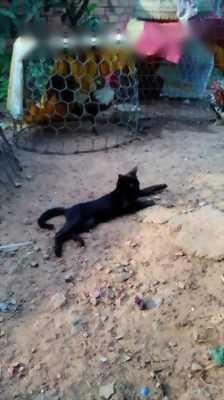 Cần tìm chủ mới cho em mèo mun