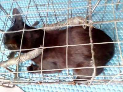Bán bé mèo Mun