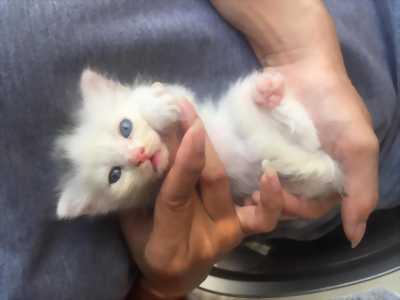 Bé mèo mắt 2 màu, giới tính đực