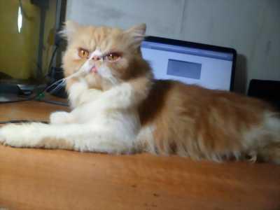 mèo ba tư lai anh lông ngắn