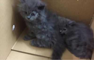 Cần bán mèo ald giá mền mại và thương lượng được