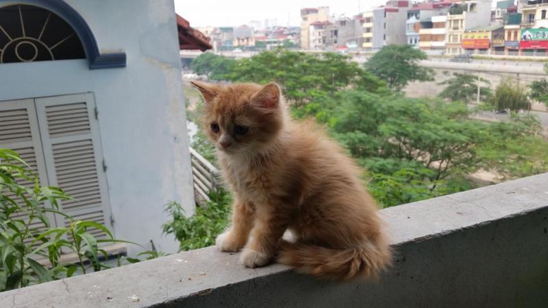 Mèo ALD đực thuần 3 tháng