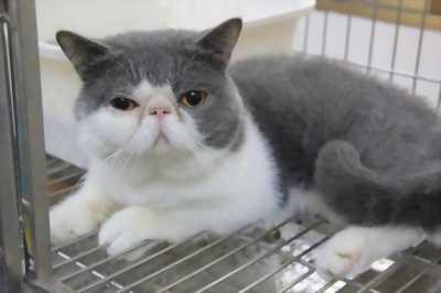 Bán mèo lai Anh lông dài, giá chuẩn thị trường cho các bạn