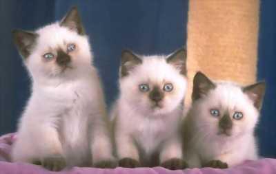 Cặp mèo Anh lông dài, giá chuẩn nhất nước