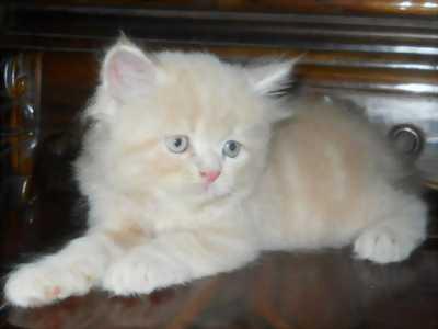 Cần bán mèo trắng Anh 1.5kg, giá hợp lý cho bạn yêu mèo