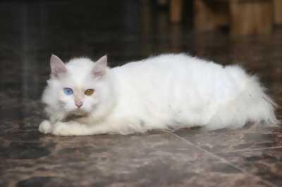 Tìm nhà mới cho 3 em mèo Anh lông dài, giá cực chuẩn