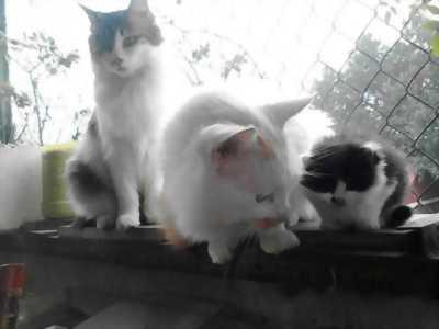Cần nhượng lại mèo Ba Tư cực xinh giá rẻ hữu nghị.