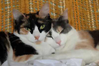 Cần nhượng lại Mèo anh tam thể và nhị thể mắt xanh giá rẻ.