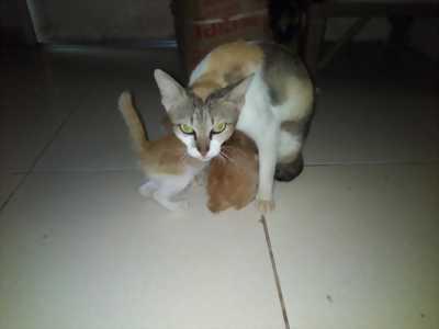 Bán Mèo mẹ và ba mèo con