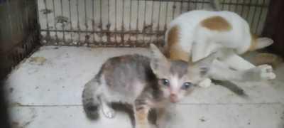 Bán một cặp mèo cả mẹ lẫn con