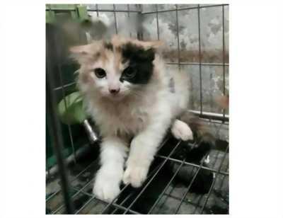 Mình cần bán lại một chứ mèo Nga xù bông tam thể nhaaaaa, màu mắt xanh với giá hữu nghị