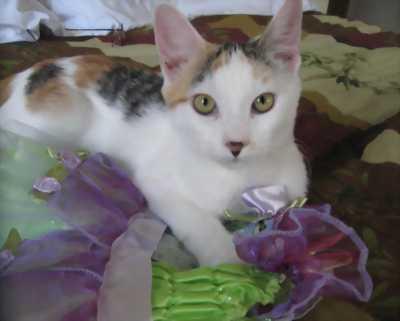 Mèo tam thể đực (mèo thần tài)