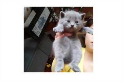 Cần bán lại chú mèo con thuần chủng lông ngắn này, ngon lắm nhé, ăn giỏi nữa, giá hữu nghị