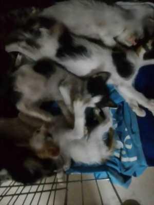 Cần bán đàn mèo con, lông trắng đen, khỏe mạnh cho bạn có hứng thú