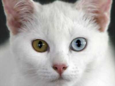 Mình cần bán một chú mèo màu trắng mắt 2 màu xinh yêu