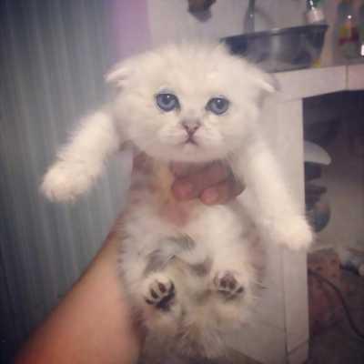 Cần tìm chủ yêu thương những em mèo scotish đáng yêu