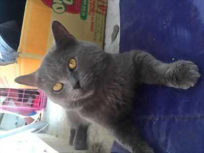 Mèo ALN xám xanh 8 tháng