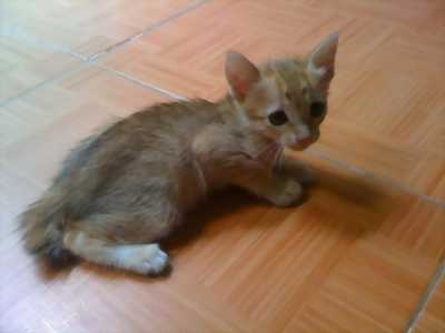 Mèo thường giá sv