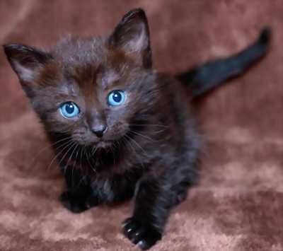Cần bán 4 chú mèo đen con