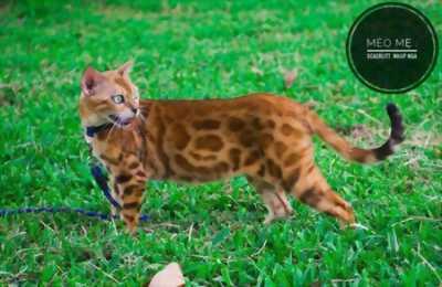 Mèo Bengal đẹp- Bố mẹ nhập