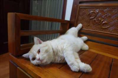 Bé mèo ALN hồng phấn, đực, 1 tuổi, khoẻ mạnh