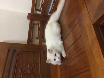 Mèo ALD cái 10 tháng tuổi, rất ngoan