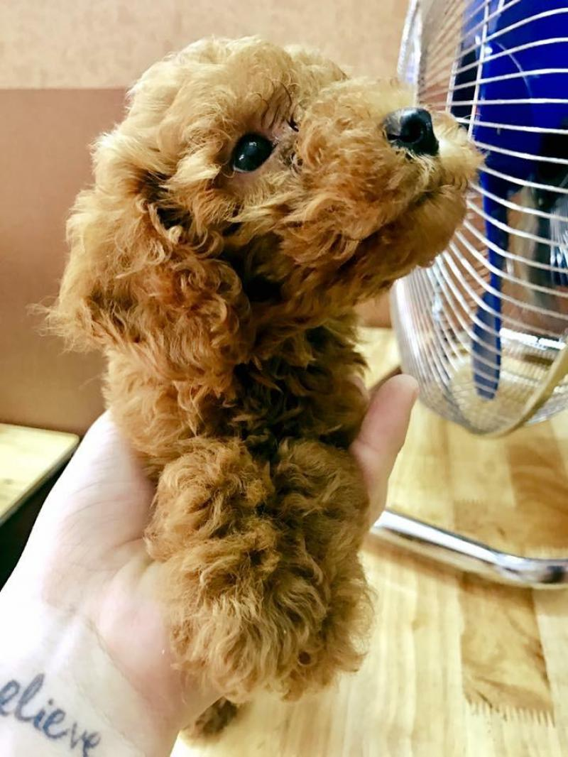 Bán Poodle 5 tháng tuổi