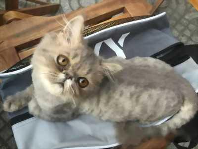 Cần bán bé mèo Ba Tư đẹp này, dễ nuôi giá rẻ như bèo