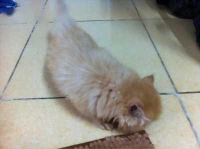Cần bán mèo Ba Tư đẹp 2 tháng tuổi giá siêu rẻ cho anh em.