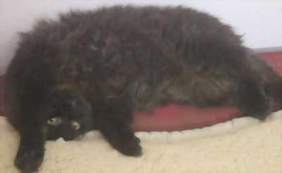 Cần bán mèo Ba Tư song sinh 5 tháng tuổi giá rẻ bèo.