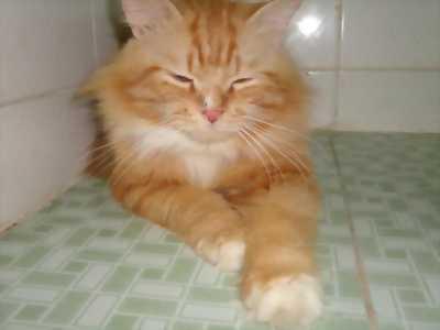 Cần bán mèo Ba Tư 3 tháng tuổi ngon, khôn lanh giá cả hữu nghị lấy nhanh có fix giá