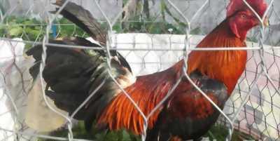 Bán gà nòi lai nặng 2.9 kg