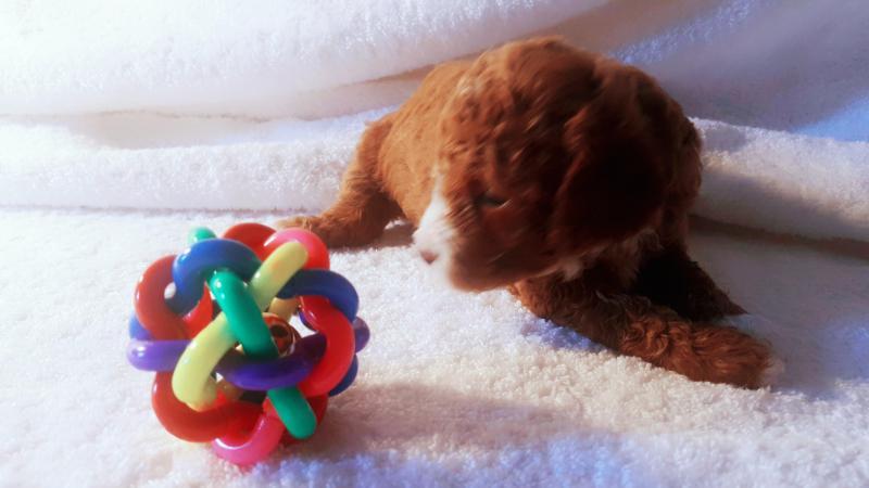 Teacup Poodle và Tiny Poodle cần tìm chủ