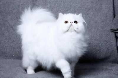 Mèo ba tư hai tháng tuổi