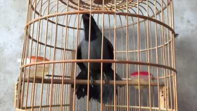 Bán chim Khướu mái