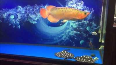 Bể cá rồng dài 1m39 rộng 60
