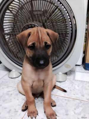 Chó con 2 tháng tuổi, cái, giọng lớn con, chân có đeo