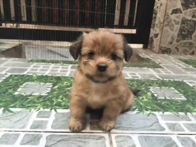 Chó con nhà 2 tháng tuổi
