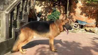 Bán chó Becgie thuần