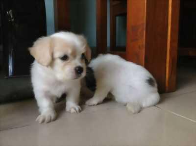 Cần bán bé cún đốm nhật lai
