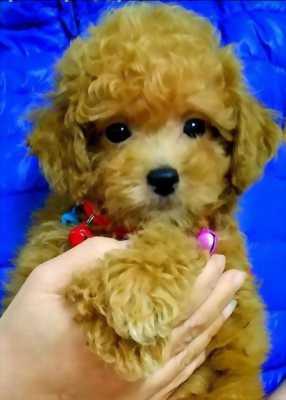 Poodle vàng mơ siêu cute