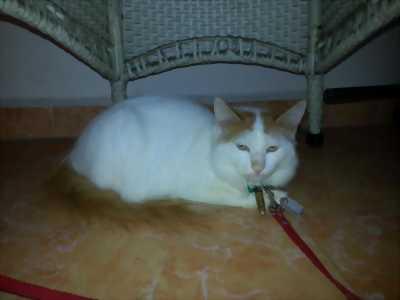 Bán mèo Anh lông dài trắng