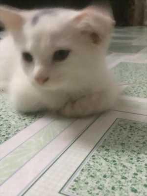 Bé Mèo Anh LD  màu  Trắng  3,5 tháng