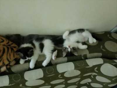 Mèo anh lông dài 2 tháng tuổi
