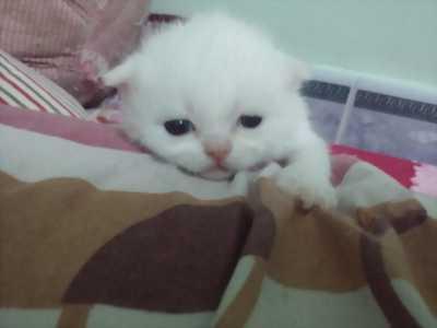 Cần bán mèo Anh lông ngắn rẻ bèo