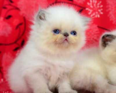 Bán 2 bé mèo Exotic nhà nuôigiá rẻ nhất