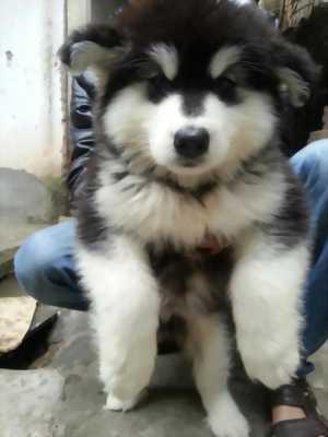 Cần bán chó Alaska thuần chủng 100% giá rẻ