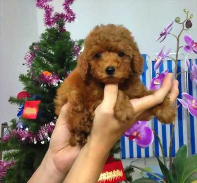 Cần nhượng lại Chó Poodle Tiny Thái Lan giá rẻ